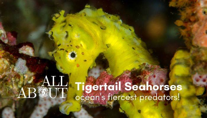 All about tiger tail Seahorse