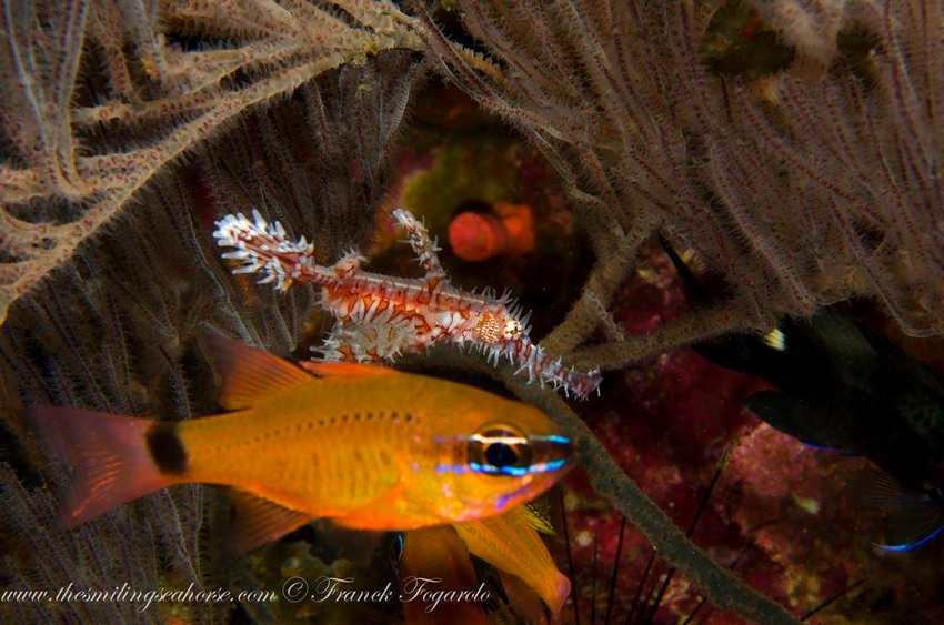 Ghost pipefish with Neon fish