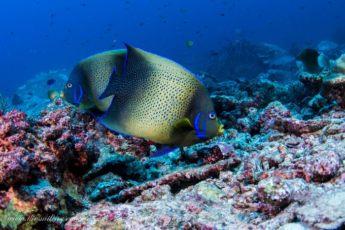 angelfish pair in thailand with blue line and yellow lips