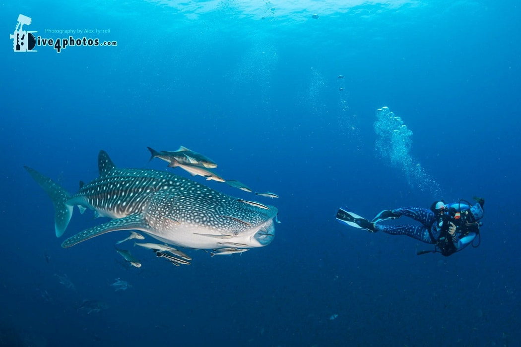 whale shark and marine conservationist at richelieu rock, thailand march 30th 2021