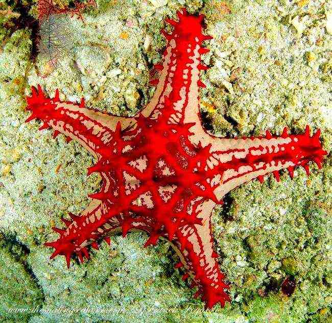A shiny red starfish...