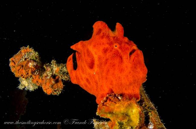 Funny face frogfish...