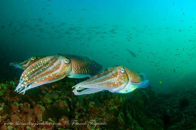 Cuttlefishes