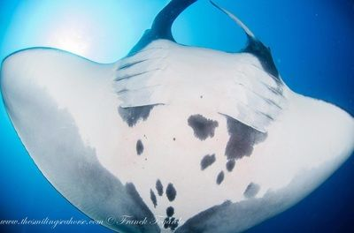 Meet mantas ray in Burma's dive cruise