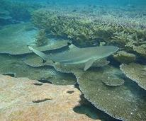 black tip dive in myanmar