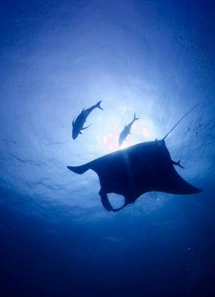 Manta in deep blue sea