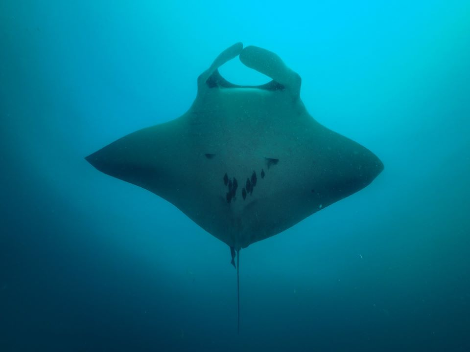 One of the various mantas we spotted around South Twin