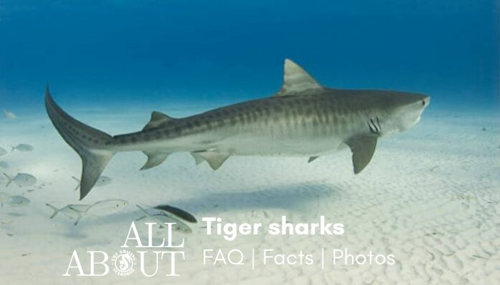 Tiger shark the ultimate FAQ