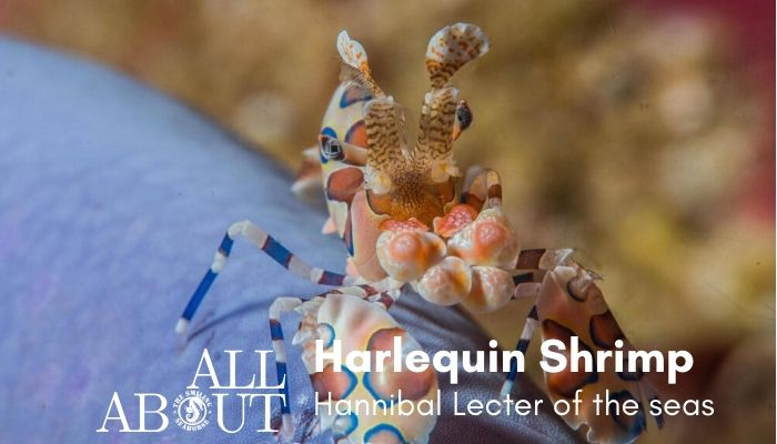 Harlequin shrimp the hannibal lecter of the seas - blog