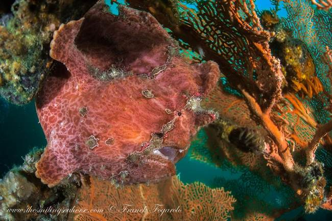 Frogfish Antennaire Frog Camouflage