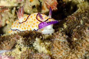 Goniobranchus annulatus, white body nudibranch, purple under the mantle, purple rhinophores and purple cercle around the rhinophore and plume
