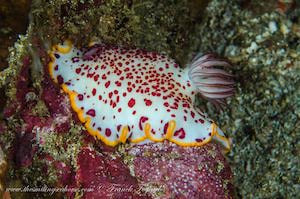 Goniobranchus sp3 flat nudibranch with body, purple plume, orange line along its mantle red dots all over