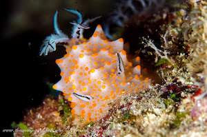 cream colored nudibranch with orange dots and black and white rhinophores and plume