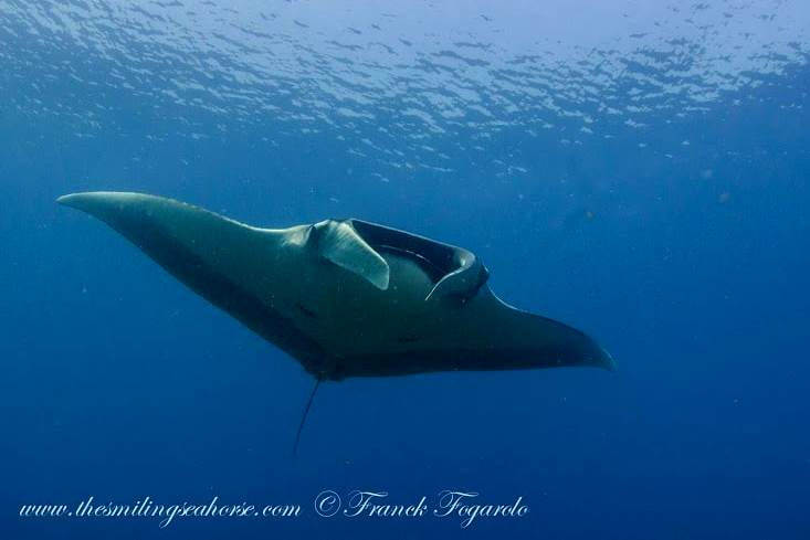 manta ray diving best place andaman sea thailand burma myanmar dream liveaboard