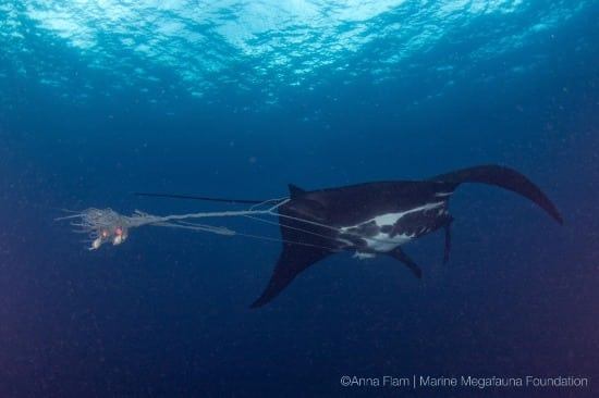 giant oceanic manta caught in ghost net