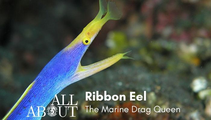ribbon eel the drag queen of the seas blog post