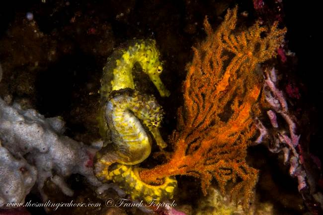 Seahorse hippocampe tigertail yellow fish coral reef