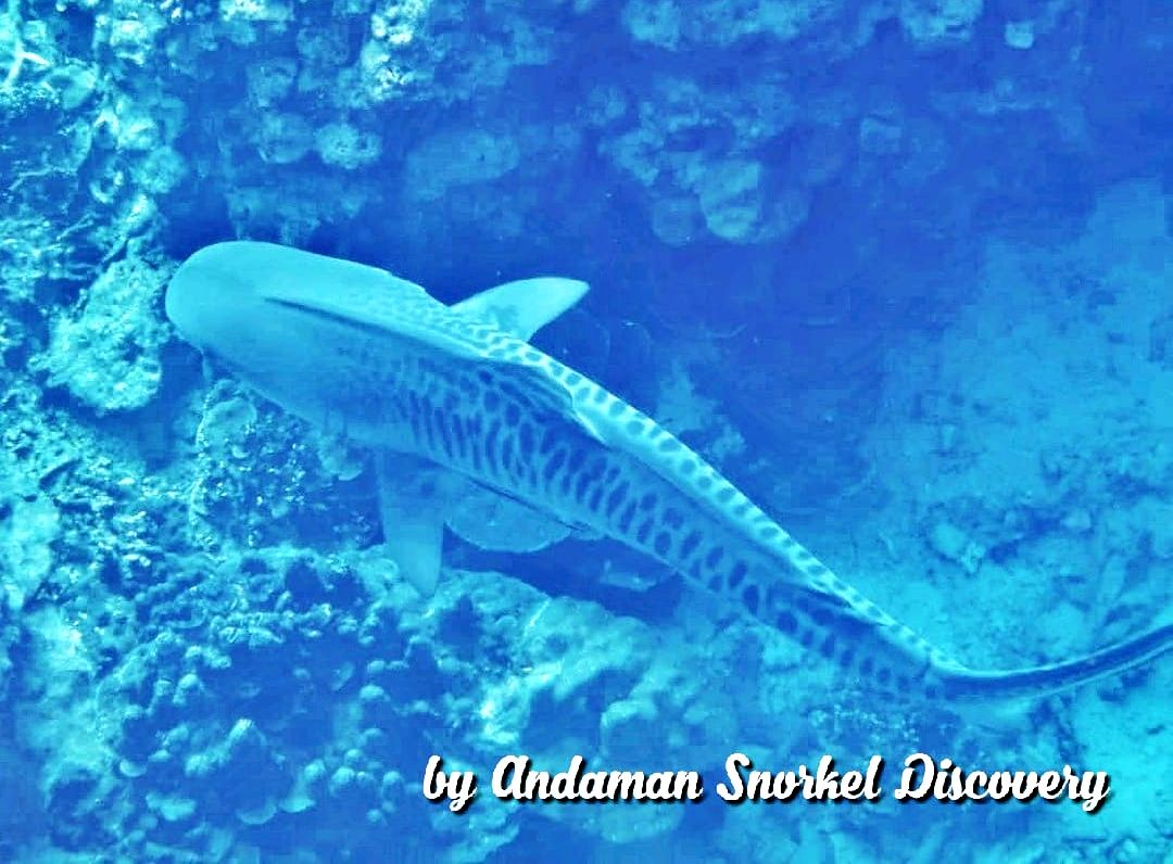snorkeling with a tiger shark in Surin islands, Thailand December 2019