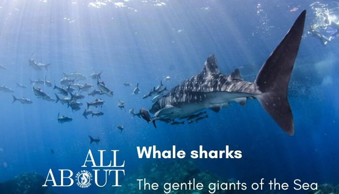all about Whale shark blogpost
